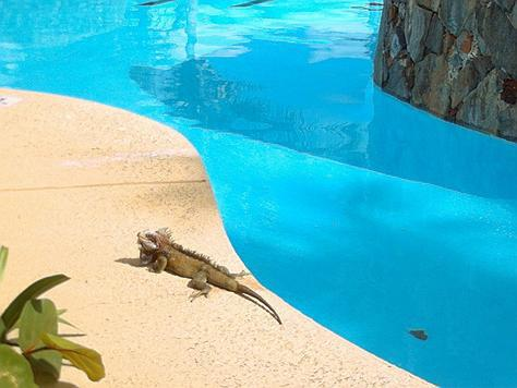 Iguanas in Virgin Island